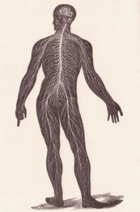 An image of nerves of the nervous system, a posterior view.